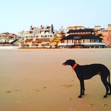 Black (Galgo)