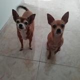 Mika (Chihuahua)
