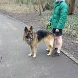 Sabbath (German Shepherd Dog)