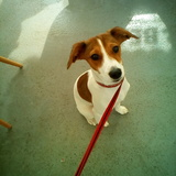 Molly (Parson Russell Terrier)