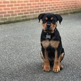 Jackie  (Rottweiler)