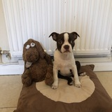 Tegan - Boston Terrier