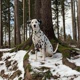 Richy (Dalmatiner)