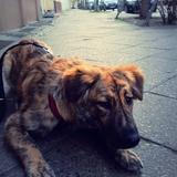 Lola (Belgischer Schäferhund)