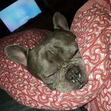 Claude (French Bulldog)