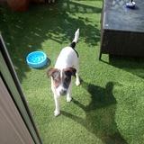 Milo (Jack Russell Terrier)