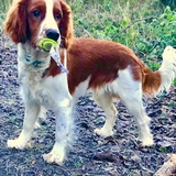 Kylo (Welsh Springer Spaniel)