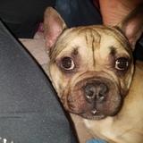 Max (French Bulldog)