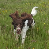 Charlie (English Springer Spaniel)