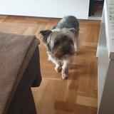 Escoty - Yorkshire Terrier