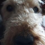 Hazel (Airedale Terrier)