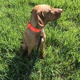 Leini (Drahthaariger Ungarischer Vorstehhund)