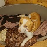 Skye (Beagle)