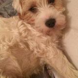 Bruin (Parson Russell Terrier)