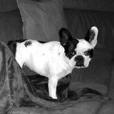 Sula (French Bulldog)