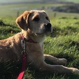 Rosie (Labrador Retriever)