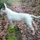 Henri (Bull Terrier)