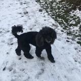 Pax (Medium poodle)