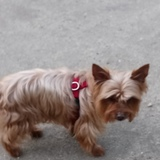 Whisky - Yorkshire Terrier
