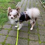 Bowie (Chihuahua)