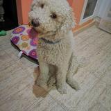 Lola - Perro de Agua Español