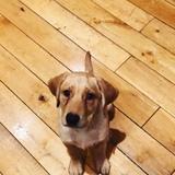 Bailey (Labrador Retriever)
