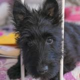 Hilde (Scottish Terrier)