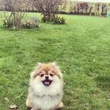 Fergie (Pomeranian)