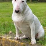 Vita (Bull Terrier)