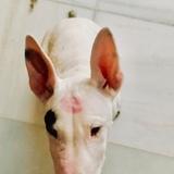 Mirò (Bull Terrier)