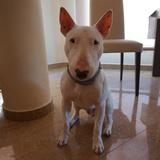 Raiden (Bull Terrier)