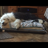 Wilma (Old English Sheepdog)