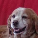 Belle (Bretonischer Vorstehhund)