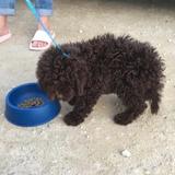 Fidel Paco (Spanischer Wasserhund)