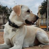 Sultán  - Labrador Retriever