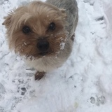 Lilly (Yorkshire Terrier)