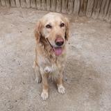 Loustic (Labrador Retriever)