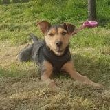 Roxi (Lakeland Terrier)