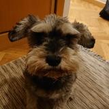 Cleo (Schnauzer Miniatura)