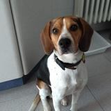 Bethowen - Beagle