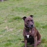 Bella (Staffordshire Bull Terrier)