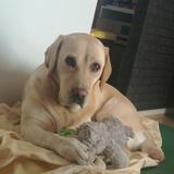 Tina (Labrador Retriever)