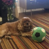 Billy  (Cavalier King Charles Spaniel)