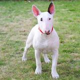 Vinchi (Bull Terrier)