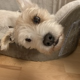 Meggy (Parson Russell Terrier)