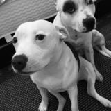 Kaos And Era  (American Staffordshire Terrier)