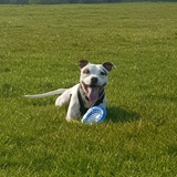 Tycho (Staffordshire Bull Terrier)