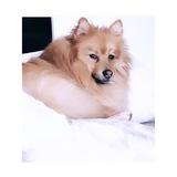 Norman (Pomeranian)