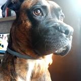 Xena (Boxer)