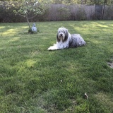 Smilla (Bearded Collie)